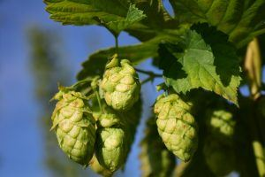 beer hops hanging on vine